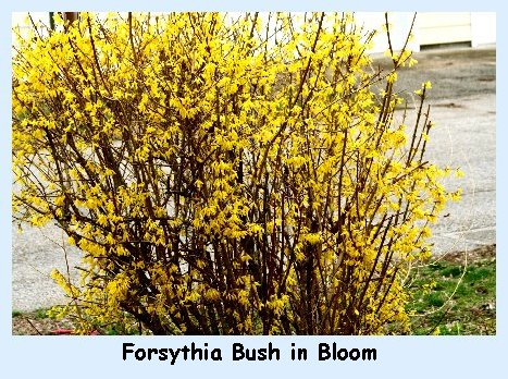 Roadside Forsythia